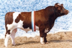 Maine-Anjou bull at Royal Melbourne Show