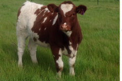 Yearling Maine-Anjou heifer